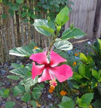 ibisco tropicale rosa 5 foglie