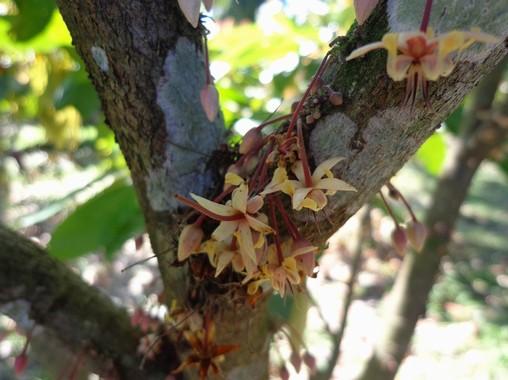 fiori cacao