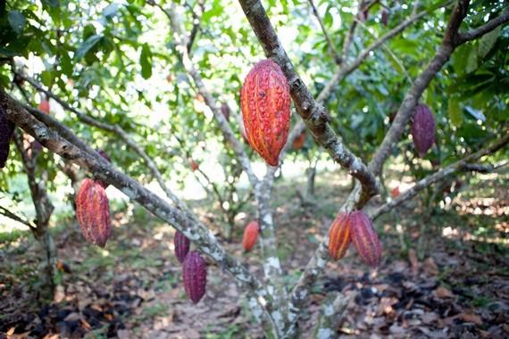 Cabosse di cacao su alberi
