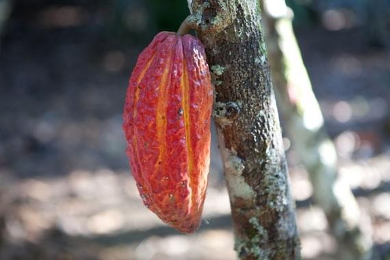Cabossa cacao su albero