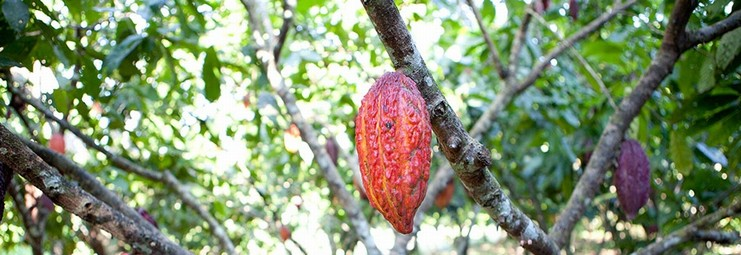 Cocoa that is excellent on the plantation, chocolate that is delectable at home