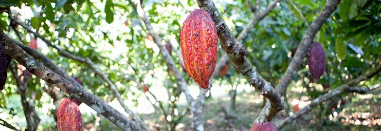 The determination, the strength, the character, the loyalty....FROM THE COCOA PLANTATION TO THE CHOCOLATE CONSUMER.